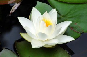white lotus by Tamara P.